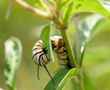 Milkweed species host the colorful caterpillars of the monarch butterfly.