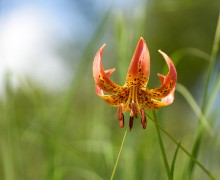 Lilian superbum, also known as Turk's Cap Lily.