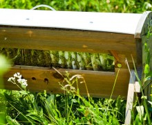 Honeybees!