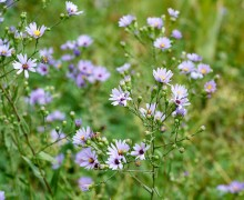 Aster in bloom marks the approach of cooler months.