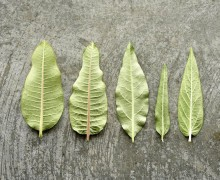 Comparing the leaves of milkweed species.